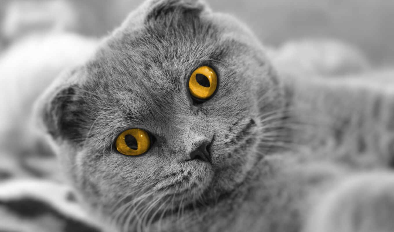 britanec, animal, вислоухий, кот, морда, smartphone, mobile, british