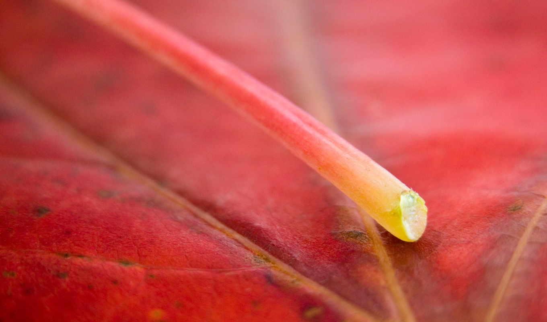 обои, красный лист