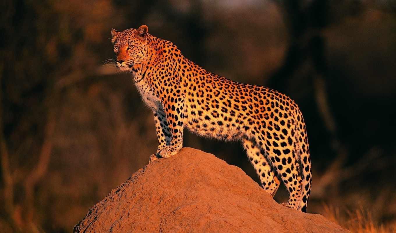 всматривается, камень, животные, кнопкой, правой, мыши, leopard, картинок, picsfab, выберите, картинку, разрешением, picture, save, ней, скачивания, фабрика,