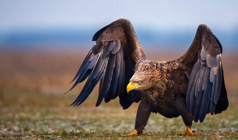 птицы, орлан, птица, области, саратовской, крылья, zhivotnye, посмотрите, орлы,