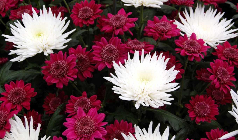 цветы, хризантемы,