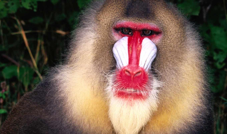 обезьяна, обезьяны, красноносая, животными,