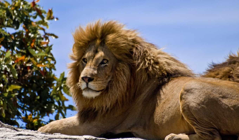 lion, львы, животных, зверей, но, красивые, фотографий, king, львицы, zhivotnye,