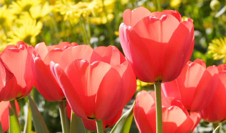 тюльпаны, красные, цветы, марта, тюльпан, бутоны,