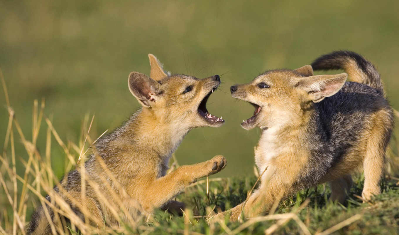 jackal, волки, kenya, mara, добавить, зверушки, masai,