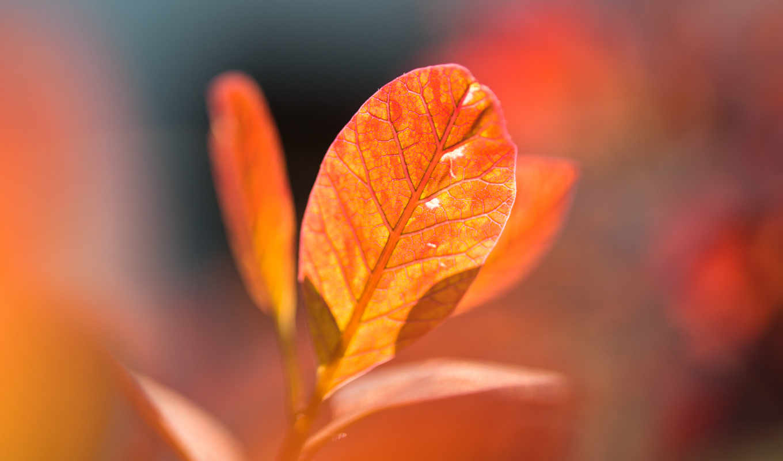 оранжевый, осень, листья, desktop,