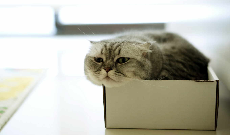 , коробка, кот, пушистый,