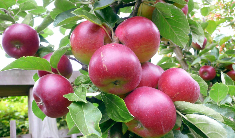 яблоня, яблони, звездочка, китайка, сорт, высота,