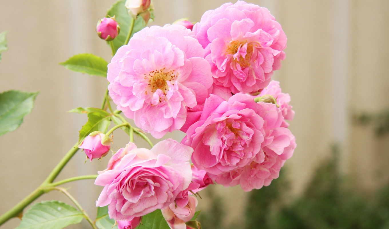 flowers, roses, цветы, фото, розы, desktop, количество, букеты, розовый,