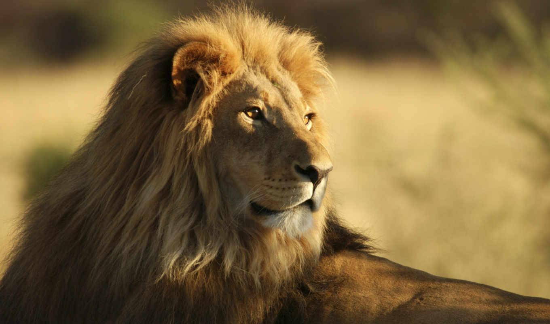 lion, king, desktop, планшетный, телефон, ноутбук, mac, best,