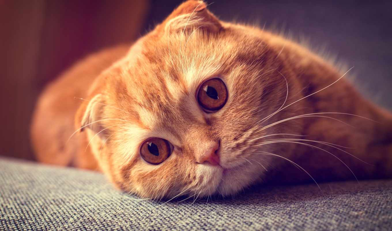 кот, кошки, взгляд, рыжая, portrait, шотландская, картинка, red, вислоухая, морда,
