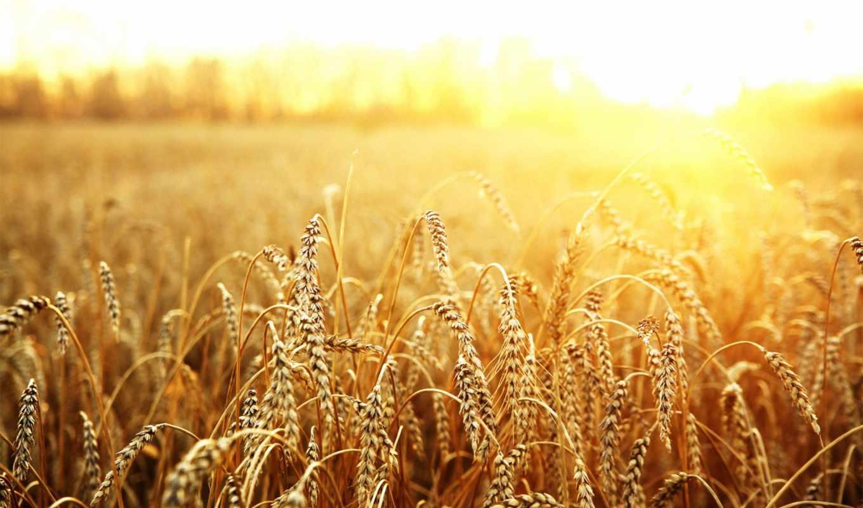 пшеница, поле, sun, макро, пшеницы, серьги, купить, россии, class, allbiz, страница,