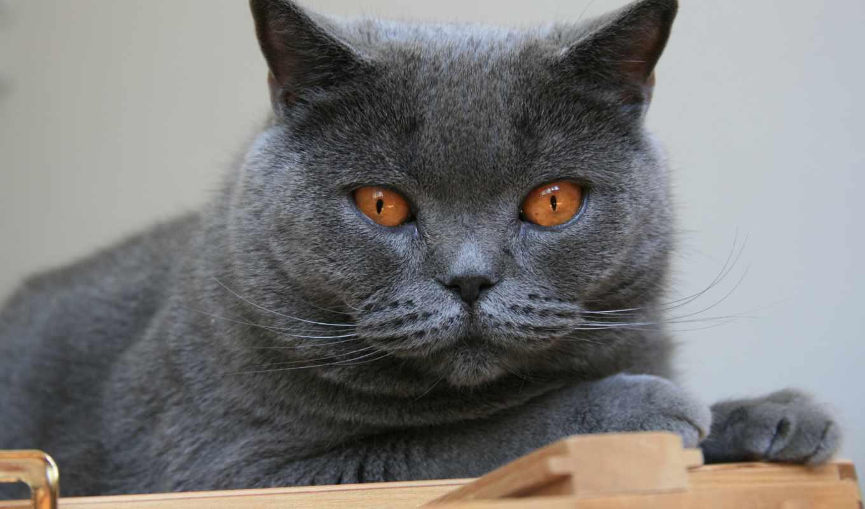 шартрез, кот, породы, кошек, кошки, картезианская, характер, порода, очень, история,