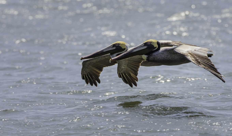 картинка, birds, pelican, браун, pelicans, pair, полет, water, американский,