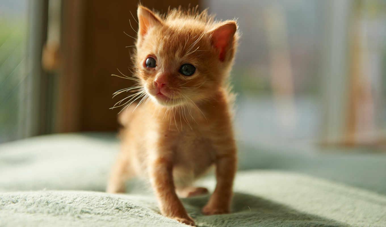 small, red, котенок,