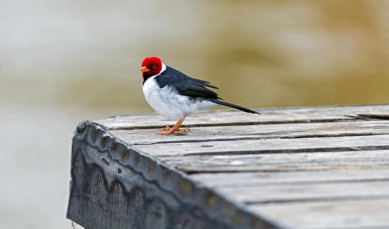 птица, мост, cardinal, red, capped, животные, картинка,