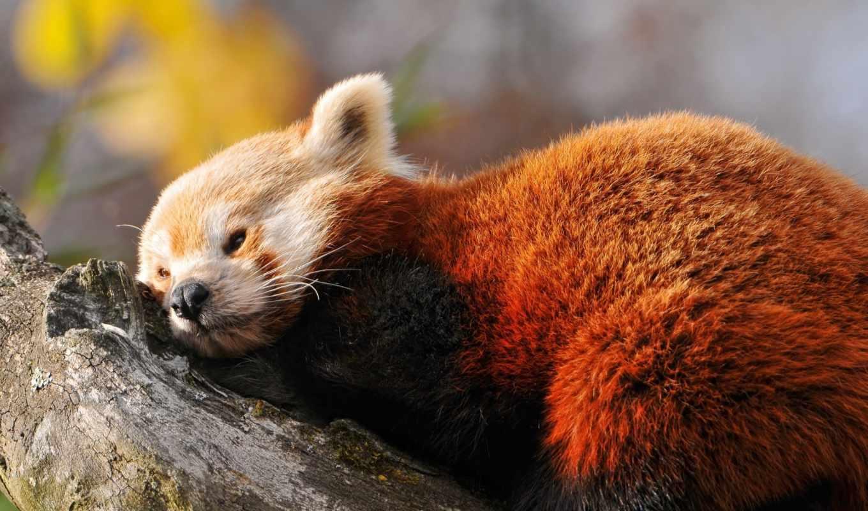 фокс, красная, панда, нов, панды, животные, же, высоком,