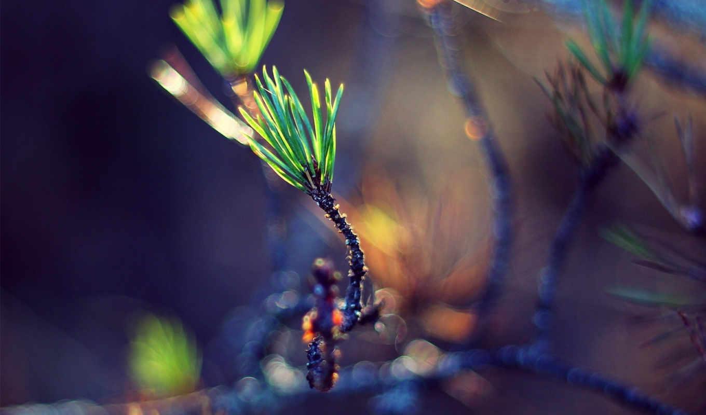 росток, green, веточка, хвоя, маленькие, листики, изображения, макро, иголки,,