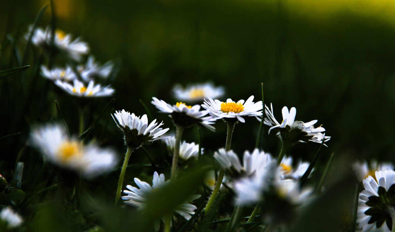 цветы, растительность, поляна, ромашки, цветение, трава,