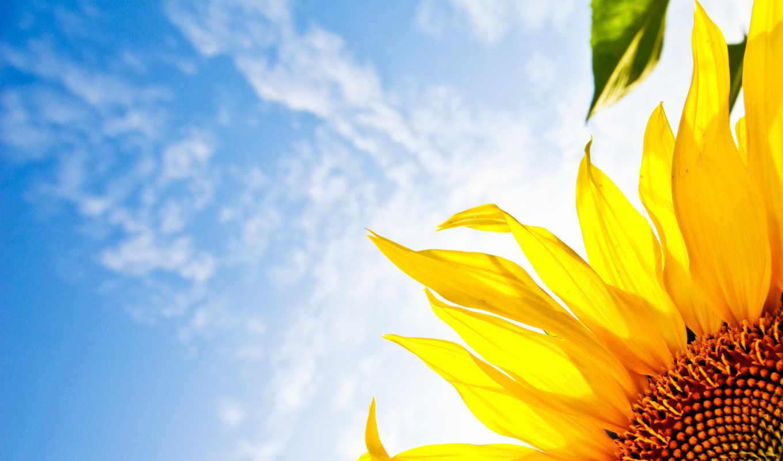 цветы, подсолнух, небо, соняшник,