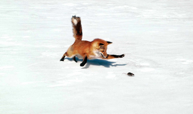 фокс, охотится, mouse, лисы,