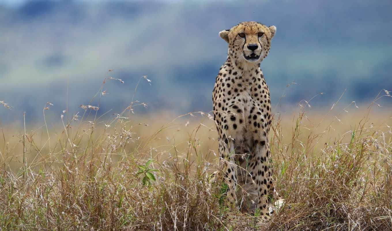zhivotnye, большие, гепарды, кошки, оригинал, природа, мультика, два, дикая, вместе,