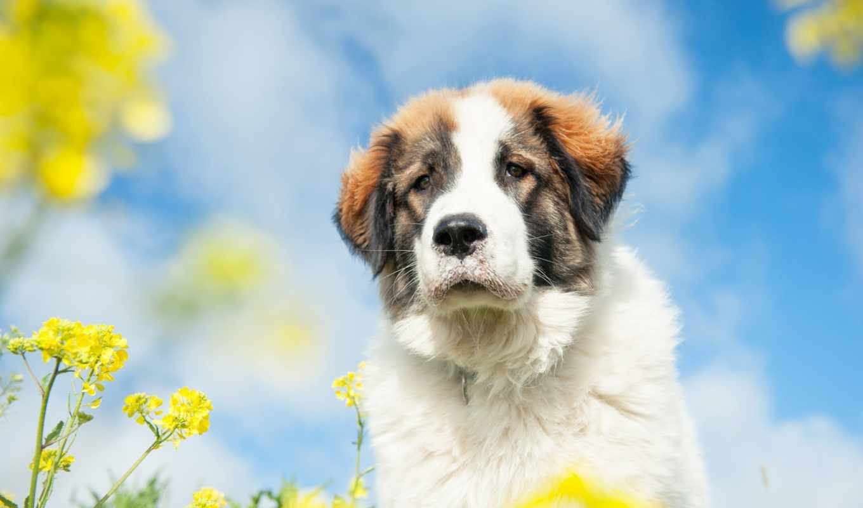 сенбернар, собака, lily, anthericum, liliago,
