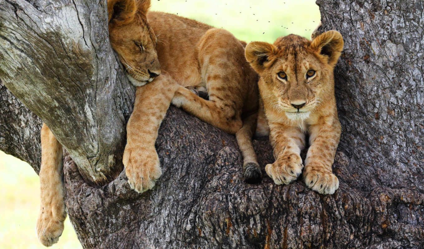 animal, детёныш, animaux, фон, images, paysages, baby, lion,