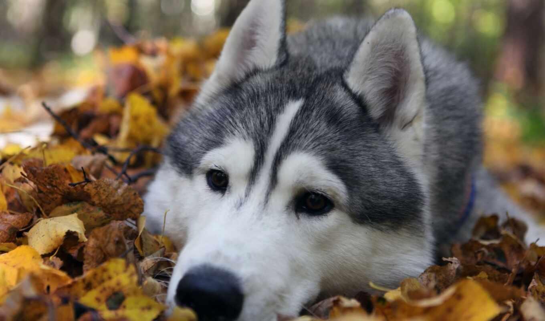 хаски, собака, обои, порода, собаки, листья, собак