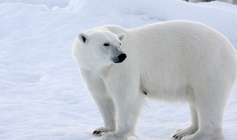 белый, медведь, снег, зима, лед, arctic,арктику,рисунки
