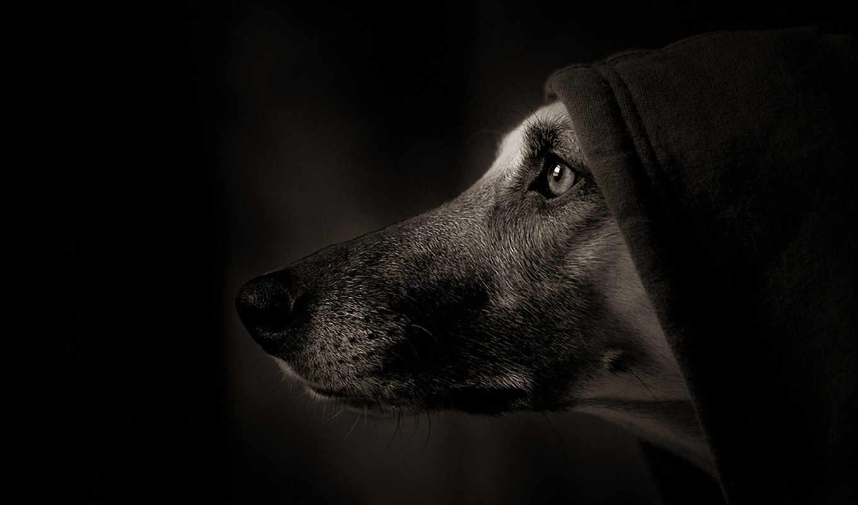 собака, собаки, морда, капюшон,