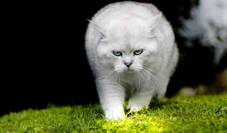 кот, white, траве, идёт, взгляд, zhivotnye,