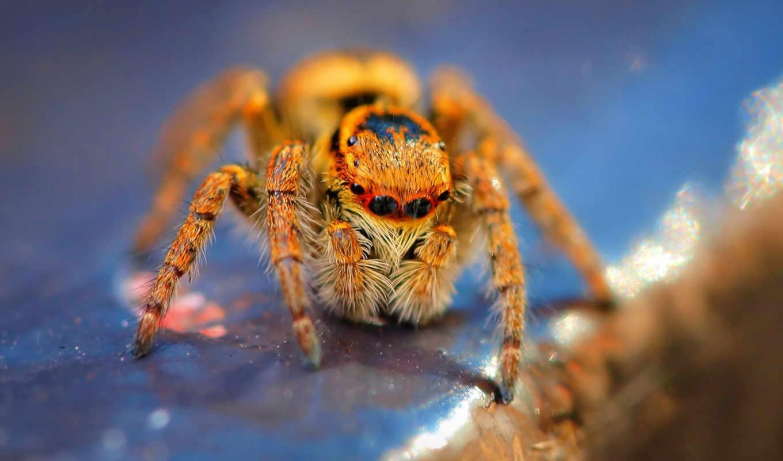 spider, глазок, восемь, desktop, tarantula, макро, fondo, паука, spiders, животные, съемка, jumping,