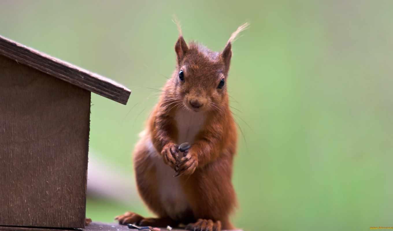 red, squirrel, cute, desktop,