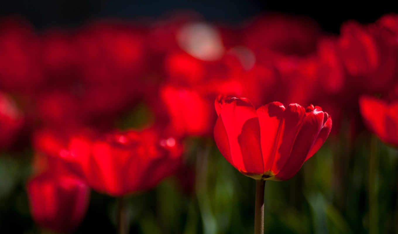 яркие, страница, cvety, фотографий, рисунки, тюльпаны,