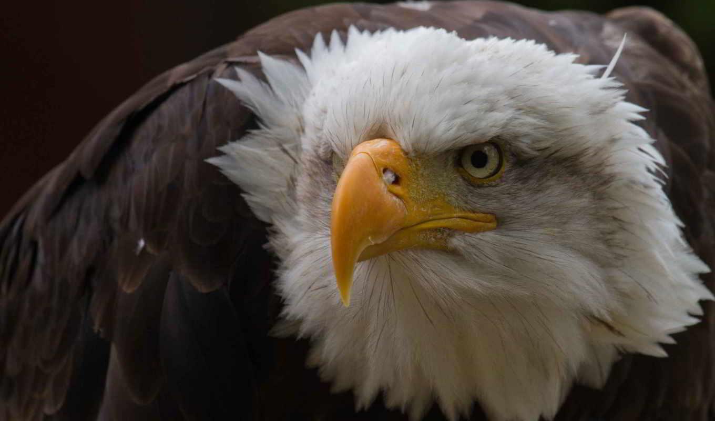 орлан, птица, клюв, смотреть, хищник, грозный, орел,