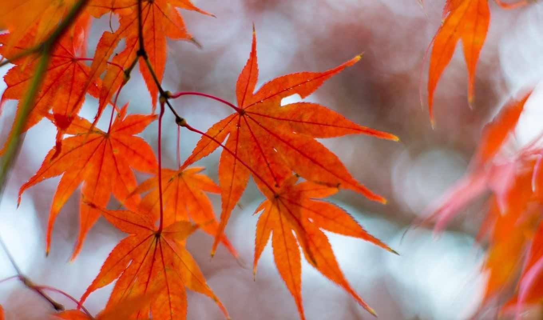 maple, осень, листва, branch, природа,