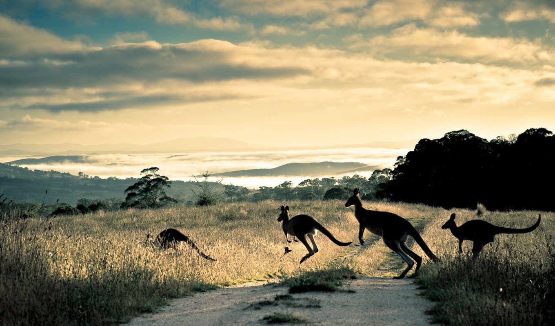 кенгуру, kangaroo,