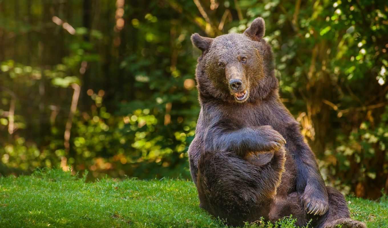 медведь, медведи, леса, admin, коллекция, fone, лесу, white, траве, playful,
