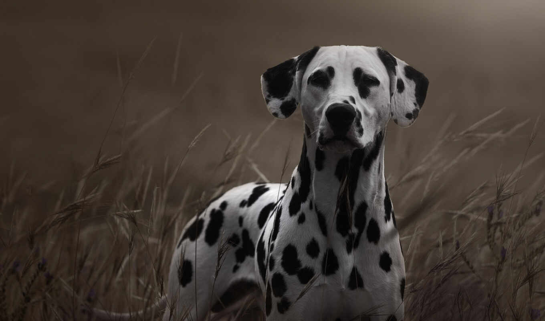 dalmatian, собака, top, устройство, awesome, canon