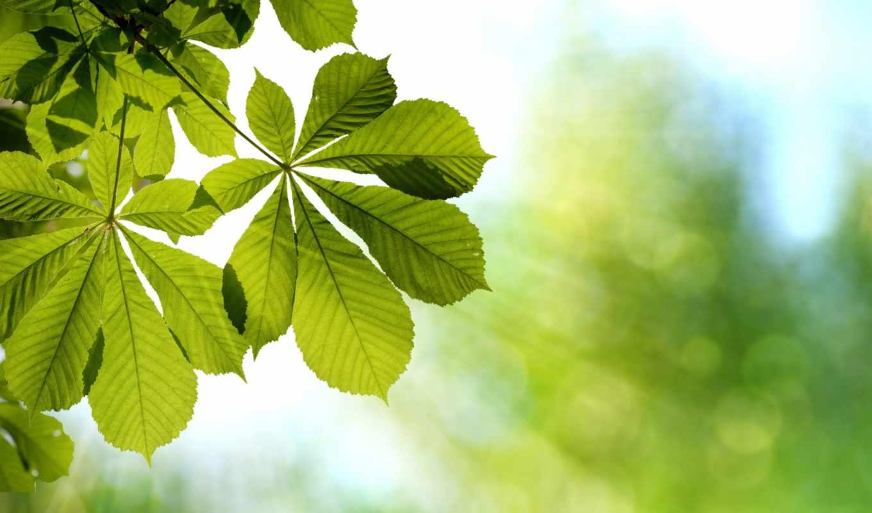листья, каштановый, branch, зеленые, свет, весна,