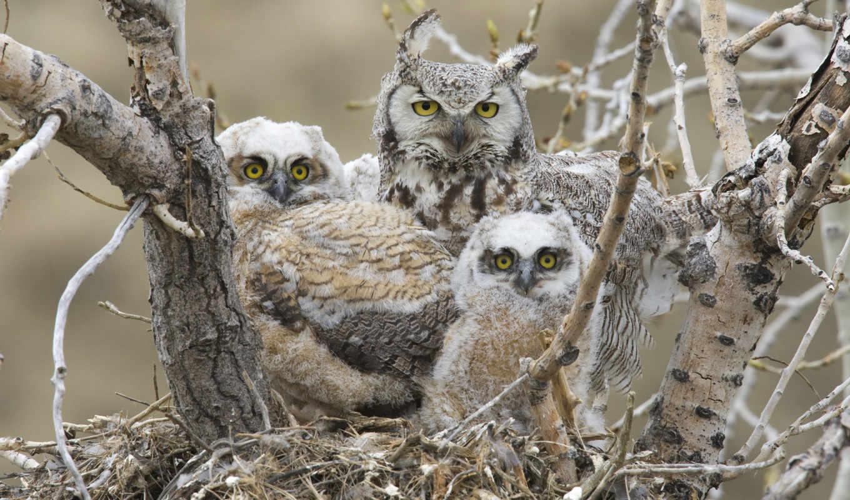 nest, совы, сова, птицы, horned, great, птенцы, большая, рогатая,