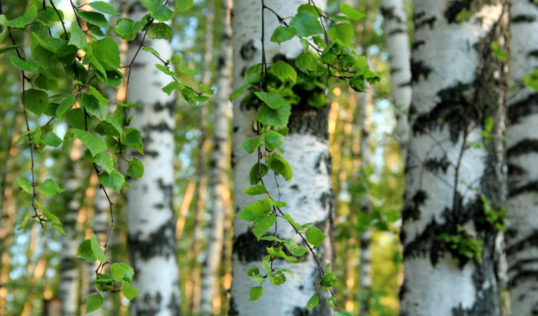 березы, листья, деревя,