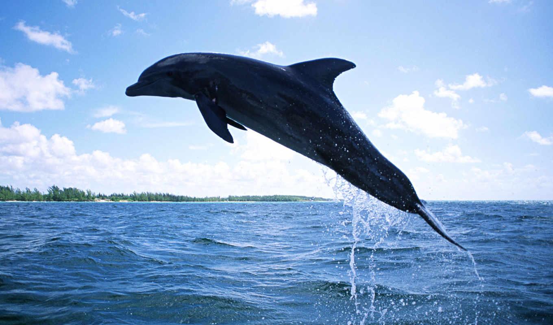 дельфин, плавающий, free, дельфины, wallpapersafari, you,