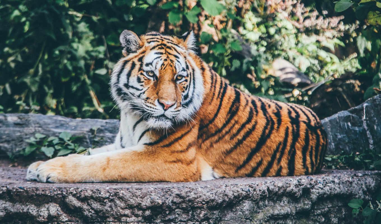 тигр, respiración, тигра, хищник, клеточкам, кот, animales, лежит,