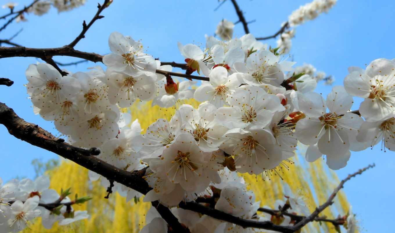 весна, природа, абрикос,