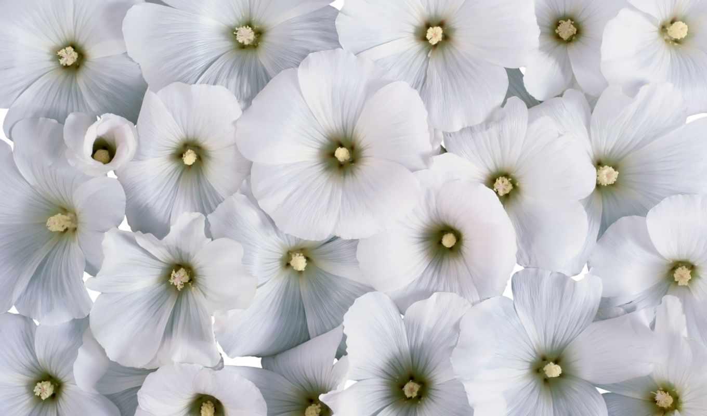 цветы, белые, лаватера,