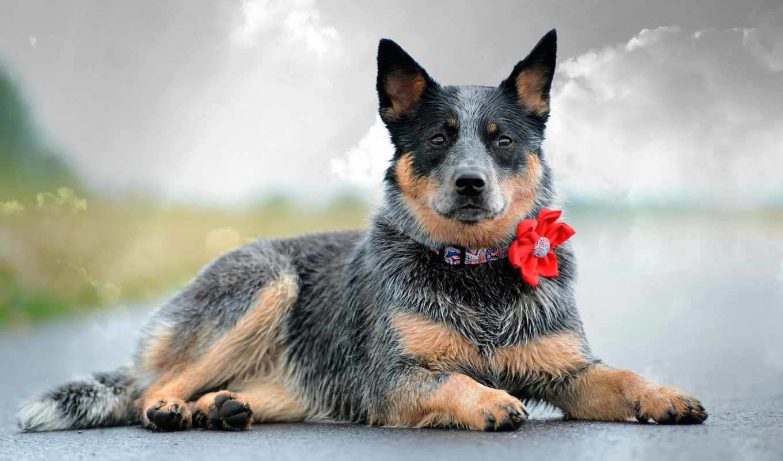 собака, zhivotnye, июня, ty, girls, windows, ошейник, ultimate,