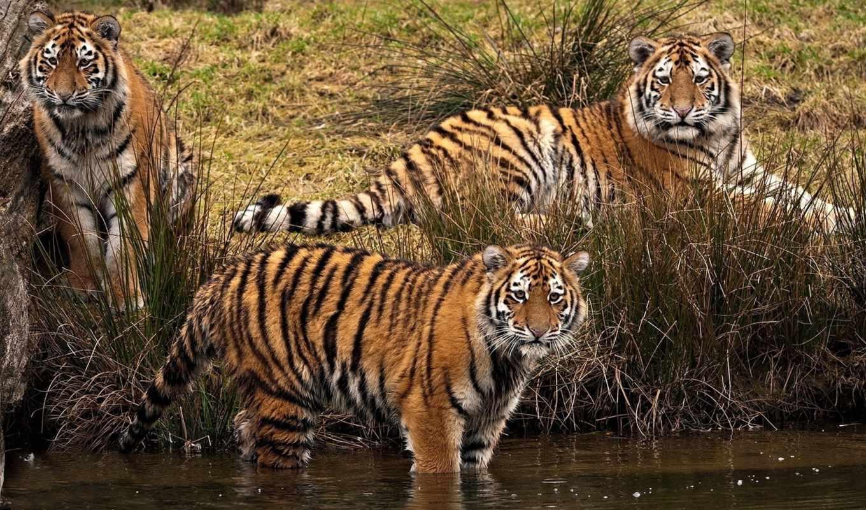 tigers, коллекция,