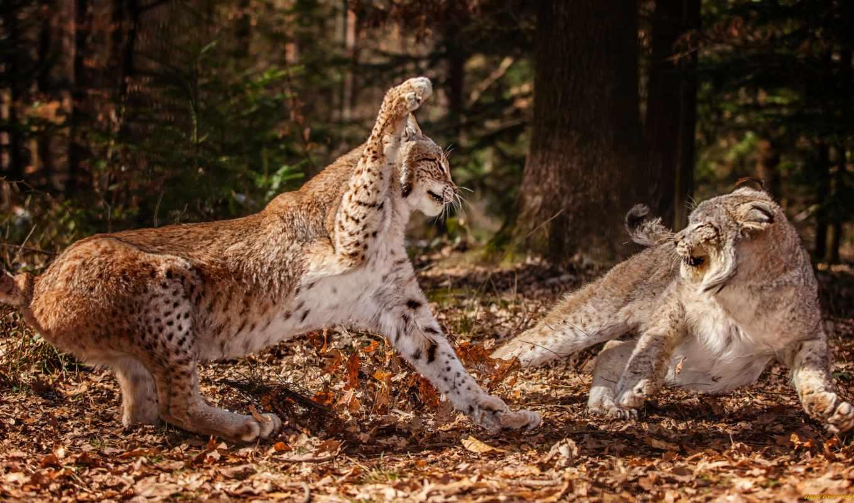 рысь, рыси, лесу, кошки, рысята, рысей, природа, бой, pair,